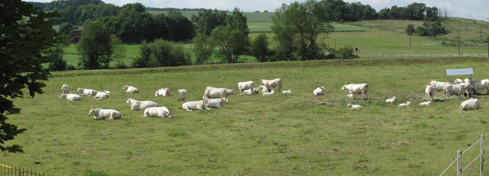 Charolais-Rinder Betrieb Lehmler aus Katzenelnbogen